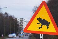Εσθονία: Ερωτοχτυπημένα βατράχια αποκτούν προτεραιότητα σε κεντρικό δρόμο της χώρας