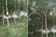 Bίντεο δείχνει πύθωνα να σκαρφαλώνει δέντρο σε δευτερόλεπτα