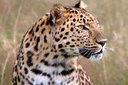 Κίνα: Λεοπαρδάλεις ξέφυγαν από ζωολογικό κήπο