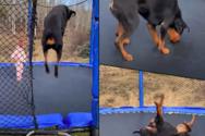 3χρονη και ροτβάιλερ παίζουν μαζί σε τραμπολίνο (video)