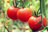 Πώς να διαλέξετε τις τέλειες ντομάτες