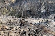 Καμένη γη άφησε πίσω της η φωτιά στην Δροσιά - Να κηρυχθεί η περιοχή σε κατάσταση έκτακτης ανάγκης ζητά ο Δήμαρχος