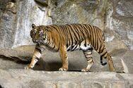 Ινδονησία: Δύο τίγρεις της Σουμάτρας προσβλήθηκαν από κορωνοϊό σε ζωολογικό κήπο