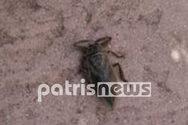 Δυτική Ελλάδα - Λιθόκερος: Το δηλητηριώδες υδρόβιο έντομο αναστάτωσε την Σπιάτζα