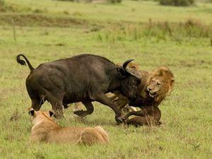Κοπάδι βουβαλιών τα... βάζει με λιοντάρι (pics)