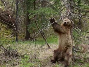 Αρκούδες ξύνονται σε δένδρα με το κατάλληλο soundtrack (video)