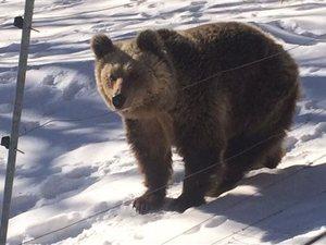 Έπεσαν για χειμέριο ύπνο οι αρκούδες του Αρκτούρου