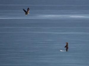 Αρκούδα 'παλεύει' με θαλασσαετό για έναν κύκνο - Στην παγωμένη λίμνη της Καστοριάς (video)
