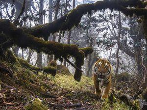 Κάμερα κατέγραψε μια σπάνια τίγρη (video)