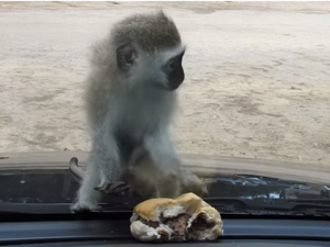 Μαϊμού προσπαθεί να κλέψει μπέργκερ και γίνεται viral!
