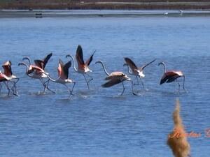 Αχαΐα - Υπέροχα φλαμίνγκο στη λιμνοθάλασσα Πάπα (video)