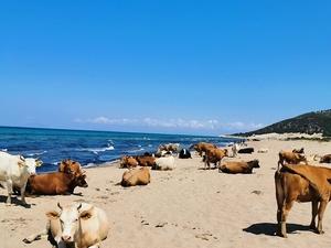 Δυτική Αχαΐα - Οι αγελάδες κατέβηκαν στην παραλία για... ηλιοθεραπεία! (φωτο)