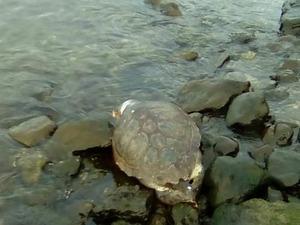Πάτρα - Νεκρή θαλάσσια χελώνα εντοπίστηκε στο νέο λιμάνι (φωτο)