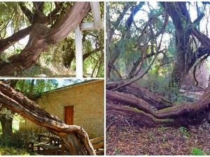 Κλήμα Παυσανία - Το ιστορικό φυτό στην Αχαΐα που δεσπόζει μέσα στους αιώνες (video)