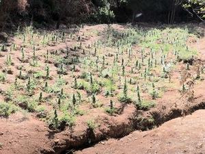 Εντοπίστηκε οργανωμένη φυτεία δενδρυλλίων κάνναβης σε περιοχή της Αιγιαλείας (φωτο)