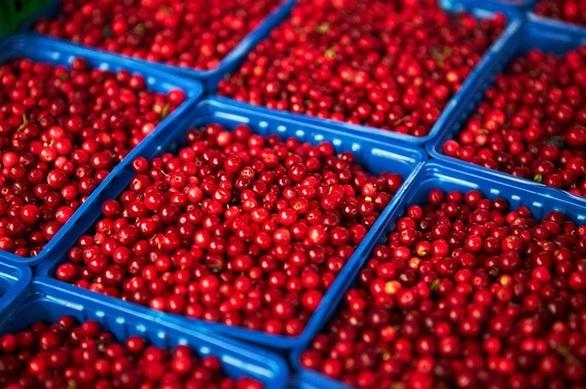 Τα κόκκινα μύρτιλα βοηθούν στην αποβολή του περιττού λίπους (pics)