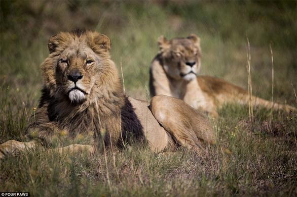 Η στιγμή που πέντε αιχμάλωτα λιοντάρια παίρνουν το δρόμο της ελευθερίας (pics+video)