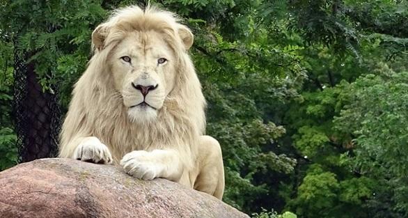 Τέσσερα σπάνια λευκά λιονταράκια γεννήθηκαν στο Τορόντο (pics+video)