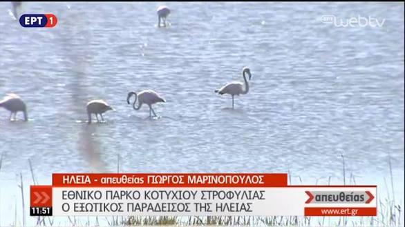 """""""Απευθείας"""" από το Εθνικό Πάρκο Κοτυχίου Στροφυλιάς τα ροζ φλαμίνγκο της Δυτ. Ελλάδας!"""