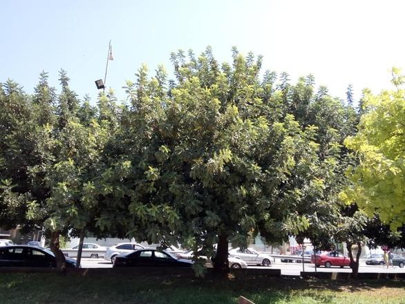 """Ορεινή Αχαΐα - Κάτοικοι φυτεύουν χαρουπιές για να """"προλάβουν"""" τις φωτιές (pics)"""