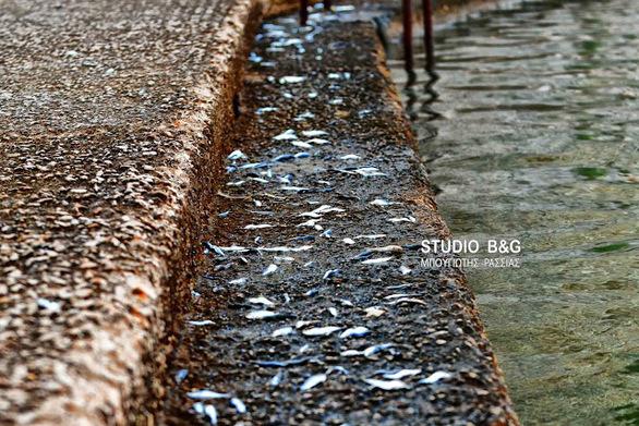 Ναύπλιο: Σαρδέλες βγήκαν στη στεριά (φωτο)
