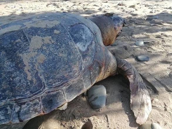 Κάτω Αχαΐα - Θαλάσσια χελώνα εντοπίστηκε νεκρή (pic)