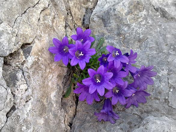 Το μωβ λουλούδι του Ολύμπου που δεν υπάρχει πουθενά αλλού