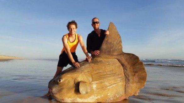 Το γιγαντιαίο φεγγαρόψαρο που ξεβράστηκε στην Αυστραλία (φωτο)