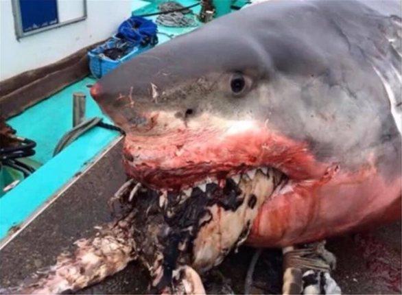 Καρχαρίας πνίγηκε προσπαθώντας να φάει χελώνα (φωτο)