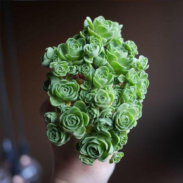 Φυτά μοιάζουν με τριαντάφυλλα