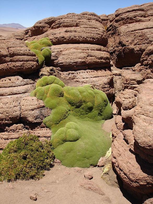 Yareta - Ένα παράξενο είδος φυτού
