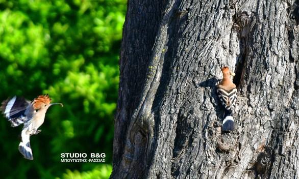 Φωτογράφος απαθανάτισε ένα τσαλαπετεινό στο Ναύπλιο! (φωτο)