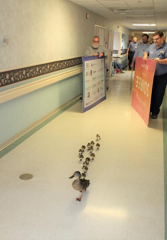 Πάπια κάνει παρέλαση με τα παπάκια της μέσα σε νοσοκομείο