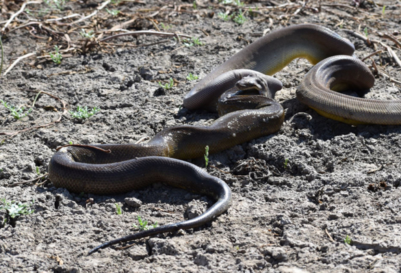 Τεράστιος πύθωνας καταπίνει ακόμα μεγαλύτερο φίδι (φωτο)
