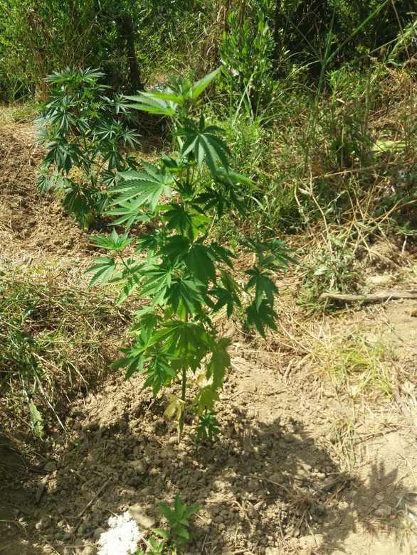 Ηλεία: Καλλιεργητής ναρκωτικών βρέθηκε στα χέρια της αστυνομίας