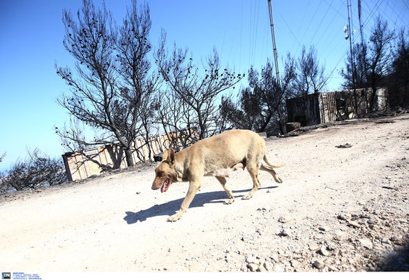 Ηρωίδα σκυλίτσα έσωσε τα κουτάβια της από τη φωτιά στον Υμηττό