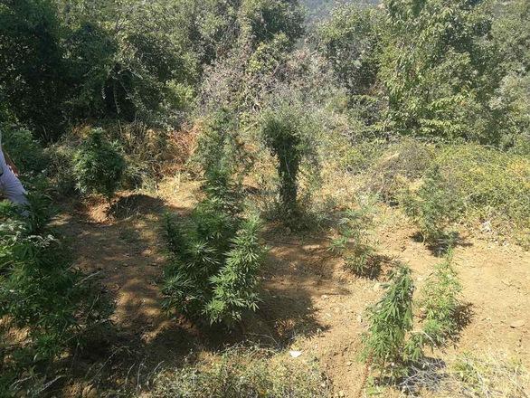 Δυτική Ελλάδα: Συνελήφθη καλλιεργητής ναρκωτικών σε χωριό της Ναυπακτίας (φωτο)