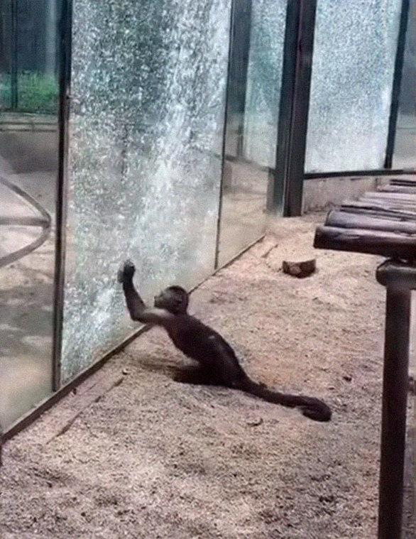 Μαϊμού έσπασε τζαμαρία σε ζωολογικό κήπο (φωτο)