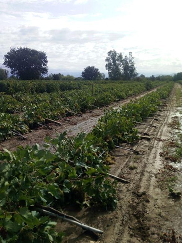 Ζημιές σε αμπέλια στα Νιφορέικα Αχαΐας (φωτο)