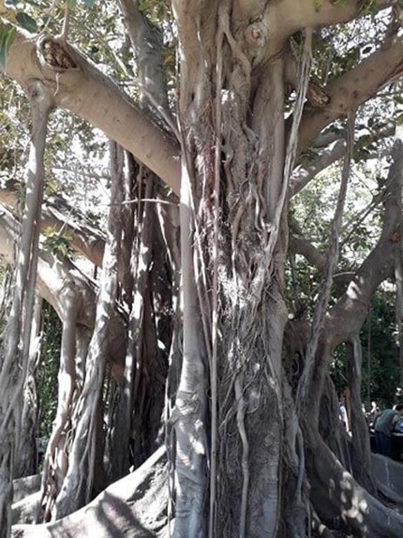 Αυτό είναι το δέντρο της Πάτρας που θα μπορούσε να ταΐσει ένα... κοπάδι ελέφαντες!