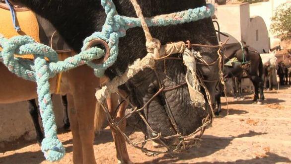 Γαϊδουράκια στη Σαντορίνη: Συνεχίζεται η κακομεταχείρισή τους για χάρη των τουριστών (video)