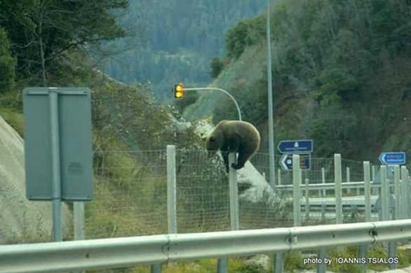 Αρκούδα… προσπάθησε να περάσει την Εγνατία Οδό! (φωτο)