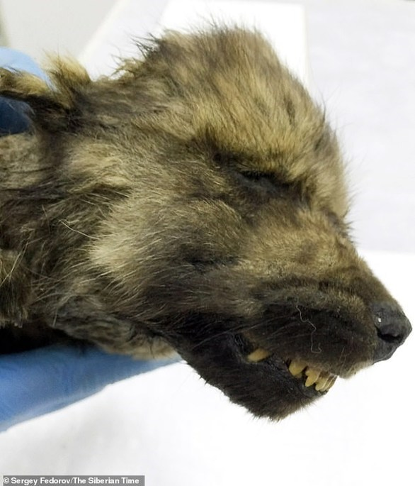 Βρέθηκε στη Σιβηρία κουτάβι της Εποχής των Παγετώνων (φωτο)