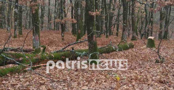 Ηλεία: Συνεχίζουν να κόβουν δέντρα στο δάσος της Φολόης