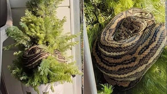 Πύθωνας τυλίχθηκε σε χριστουγεννιάτικο δέντρο (φωτο)