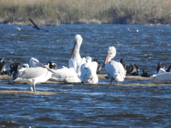 Αχαΐα - Καταγράφηκαν 42 είδη υδρόβιων πουλιών στο Εθνικό Πάρκο Υγροτόπων Κοτυχίου - Στροφυλιάς
