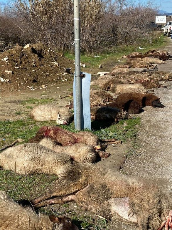 Τροχαίο κοντά στο Μεσολόγγι - Αγροτικό ξεκλήρισε κοπάδι από πρόβατα (φωτο)