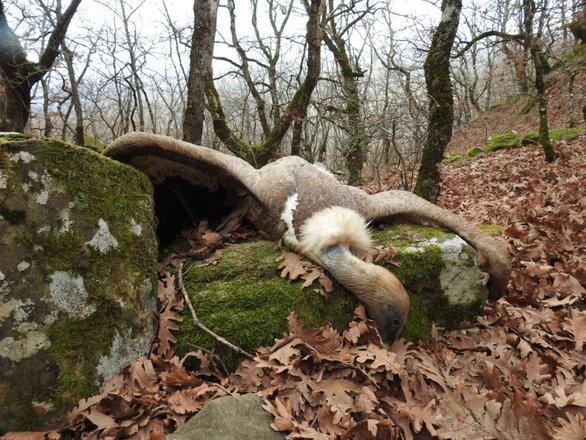 Φόλες σκότωσαν 9 γύπες στο φαράγγι της Κλεισούρας - Το είδος χάνεται (pics)