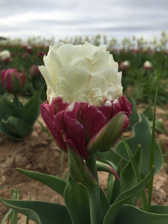 Τουλίπες… παγωτό - Μια ιδιαίτερη ποικιλία φυτού