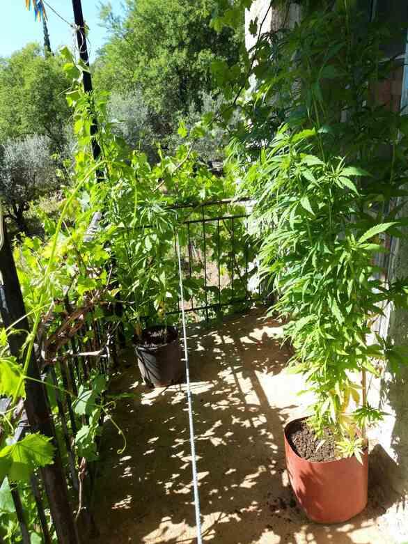 Αχαΐα: Καλλιεργούσε δενδρύλλια κάνναβης σε χωριό των Καλαβρύτων (φωτο)